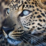 Asiatic Leopard -Zoey2