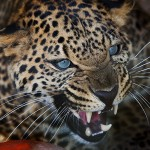Asiatic Leopard - Zoey2 - Don't Touch This